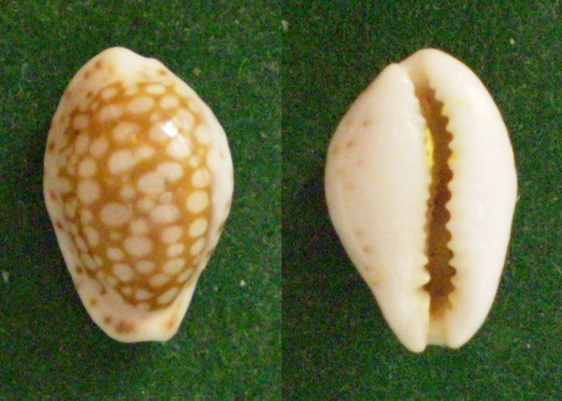 Cribrarula esontropia - (Duclos, 1833)  Panor380