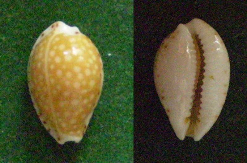 Cribrarula gaskoini - (Reeve, 1846)  Panor383