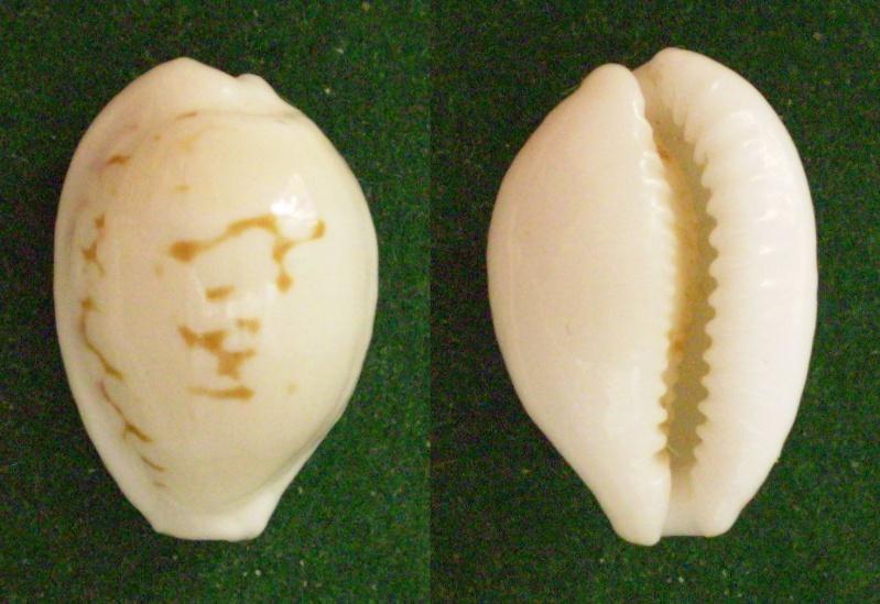 Cribrarula melwardi - (Iredale, 1930) Panor392