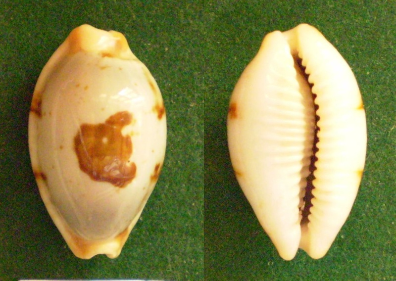 Bistolida stolida clavicola - Lorenz, 1998 Panor397