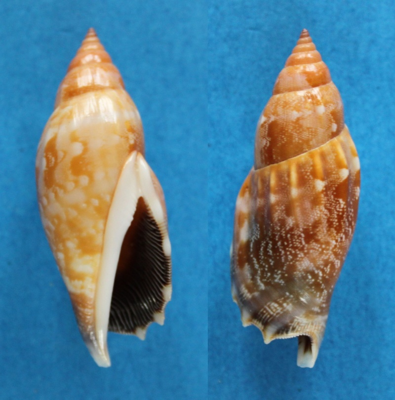Strombidae Tridentarius dentatus - (Linnaeus, 1758) Panor400