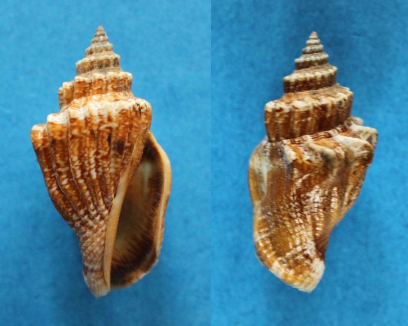 Canarium erythrinum - (Dillwyn, 1817) Panor402