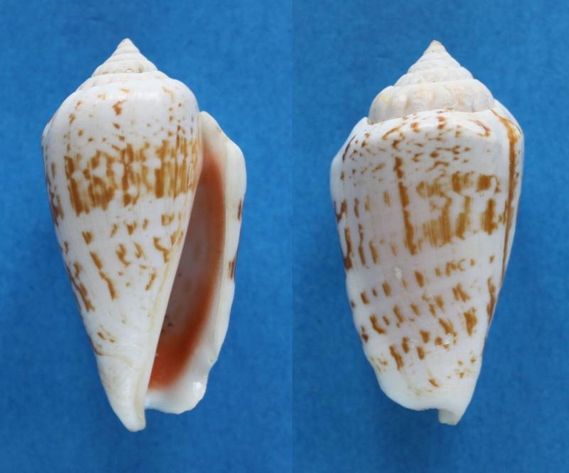 Conomurex decorus - (Röding, 1798) Panor409