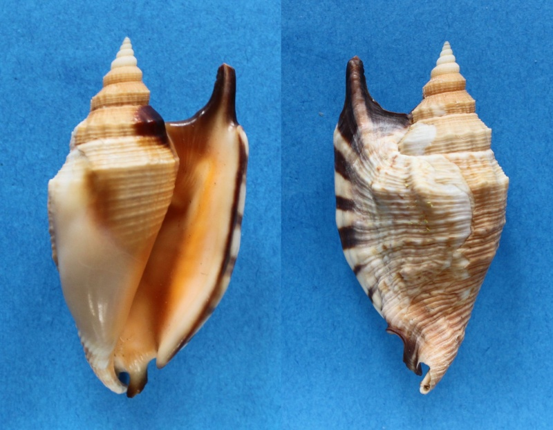 Euprotomus aratrum - (Röding, 1798) Panor410
