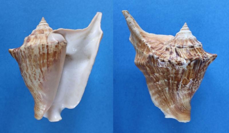 Strombidae Tricornis tricornis - ([Lightfoot], 1786) Panor411