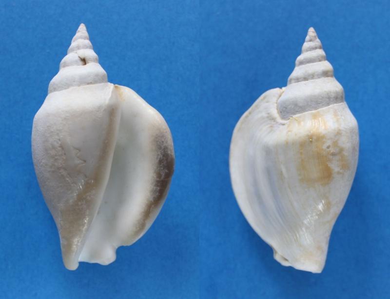 Strombidae Labiostrombus epidromis - (Linnaeus, 1758) Panor415