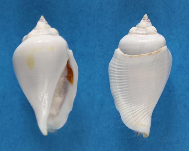 Gibberulus gibberulus albus - (Mörch, 1850)  Panor416