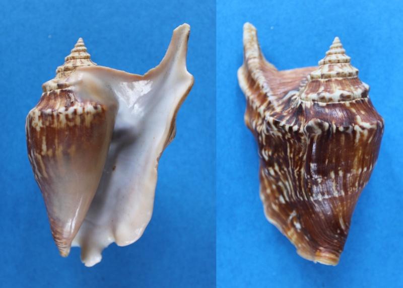 Strombidae Tricornis tricornis - ([Lightfoot], 1786) Panor419