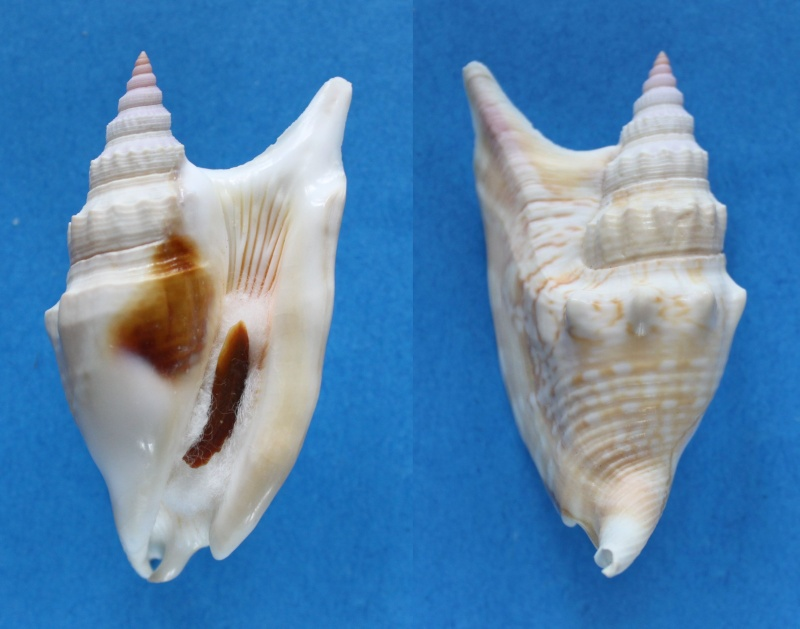 Euprotomus vomer - (Röding, 1798) - Page 2 Panor420
