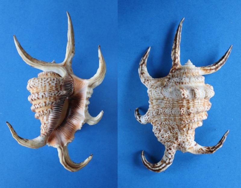 Harpago arthriticus - (Röding, 1798)  Panor421