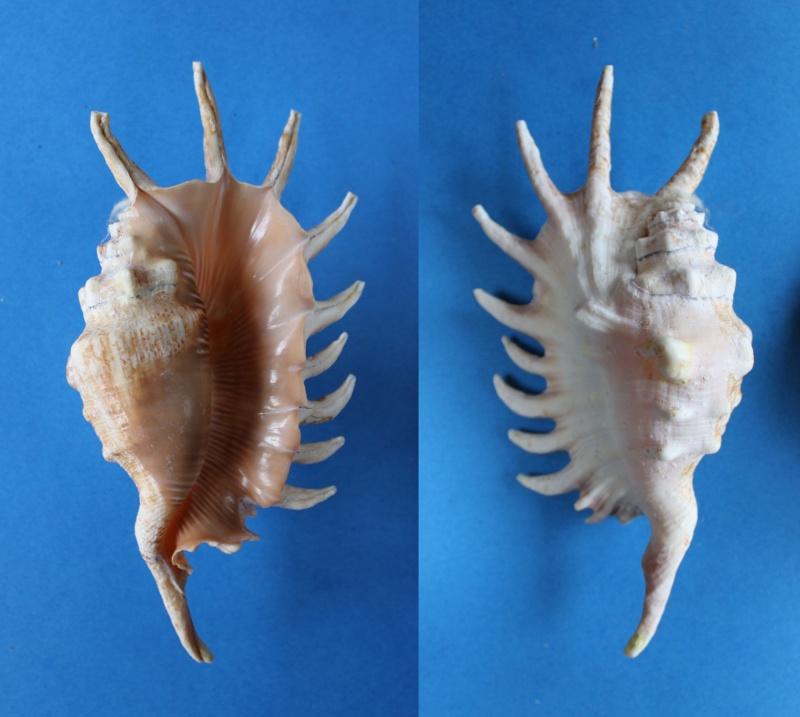 Lambis millepeda - (Linnaeus, 1758) Panor422