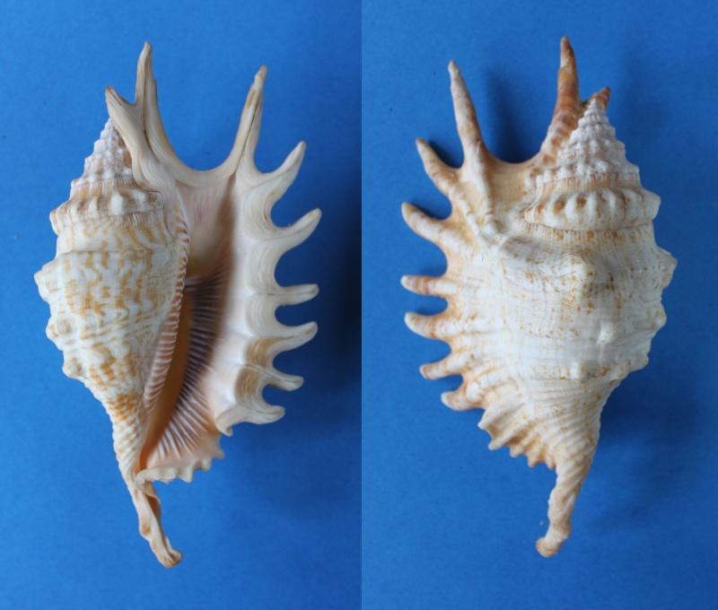 Strombidae Ophioglossolambis digitata - (Perry, 1811)  Panor424