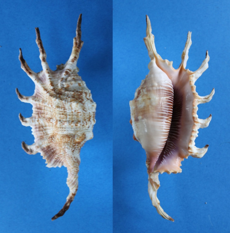 Lambis scorpius indomaris - Abbott, 1961 Panor425