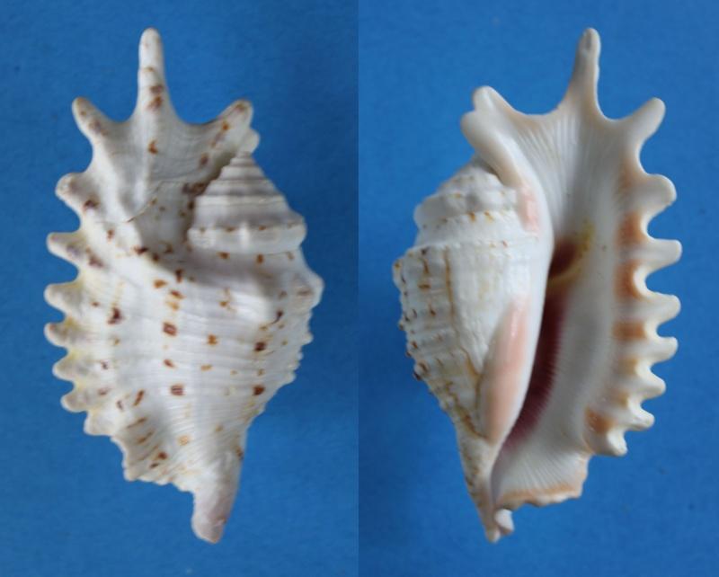 Strombidae Ophioglossolambis violacea - (Swainson, 1821) Panor426