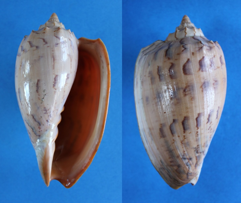 Amoria hunteri - (Iredale, 1931) Panor446