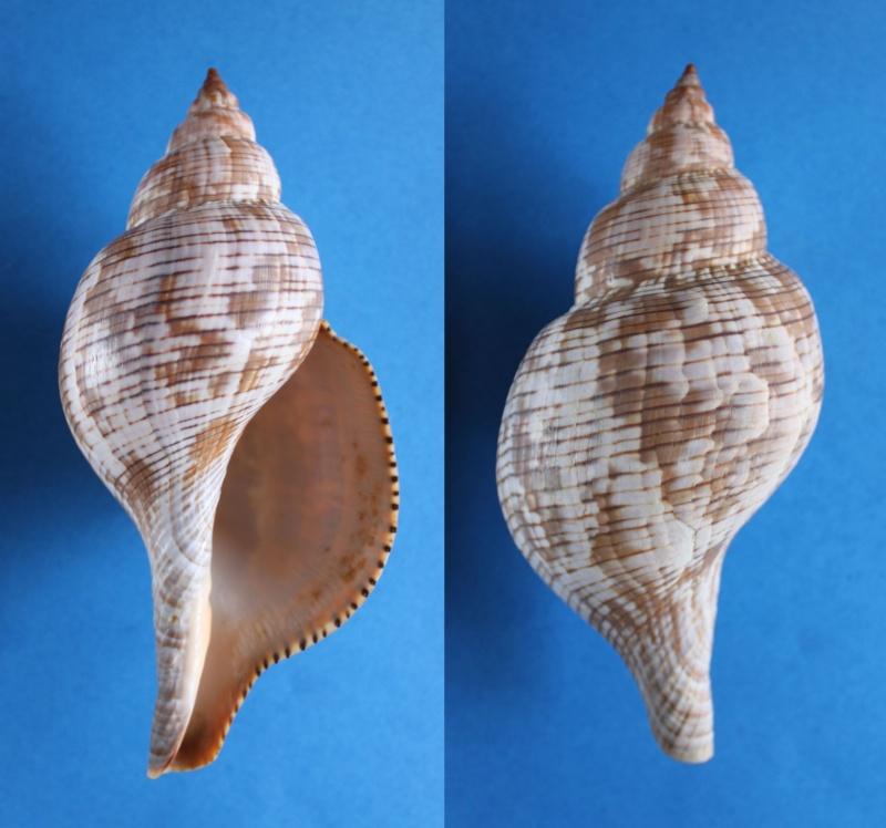 Fasciolaria tulipa - (Linnaeus, 1758) Panor447
