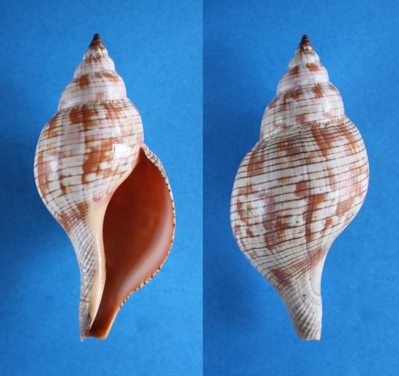 Fasciolaria tulipa - (Linnaeus, 1758) Panor448