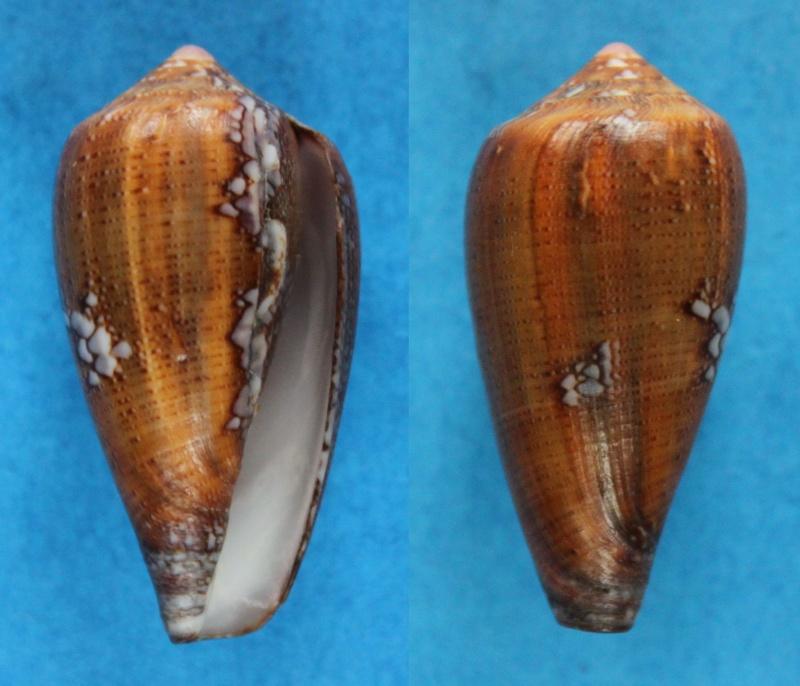 Conus (Darioconus) pennaceus tsara  Korn, Niederhoffer & Blöcher, 2000 voir Conus (Darioconus) praelatus Hwass in Bruguière, 1792 Panor451