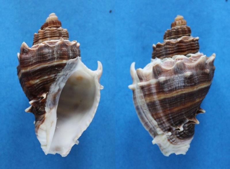 Melongena corona - (Gmelin, 1791) Panor453
