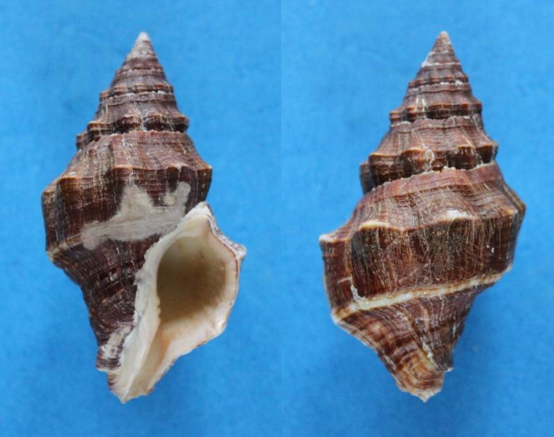 Leucozonia nassa - (Gmelin, 1791) Panor463