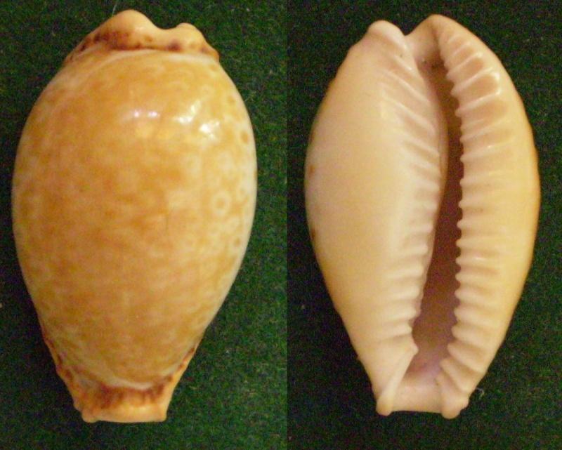 Naria spurca - (Linnaeus, 1758) Panor483