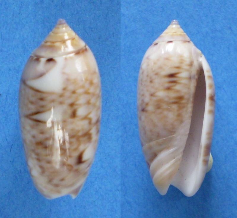 Americoliva flammulata flammulata (Lamarck, 1811) - Worms = Oliva flammulata Lamarck, 1811 - Page 2 Panor491