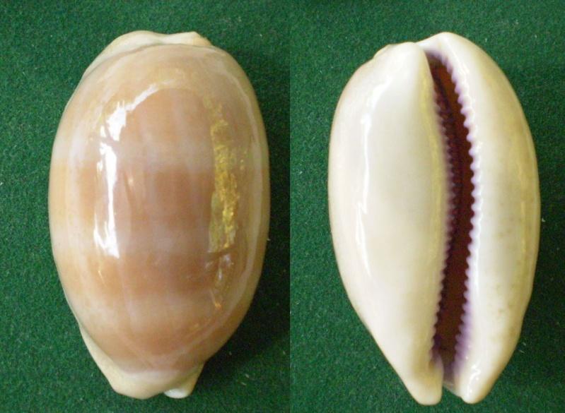 Lyncina carneola - (Linnaeus, 1758) Panor493