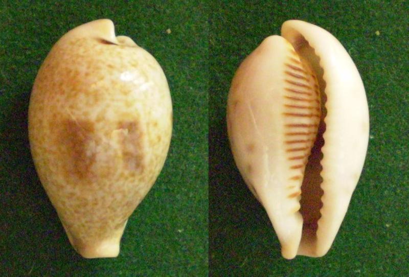 Erronea pyriformis - (Gray, 1824) Panor495