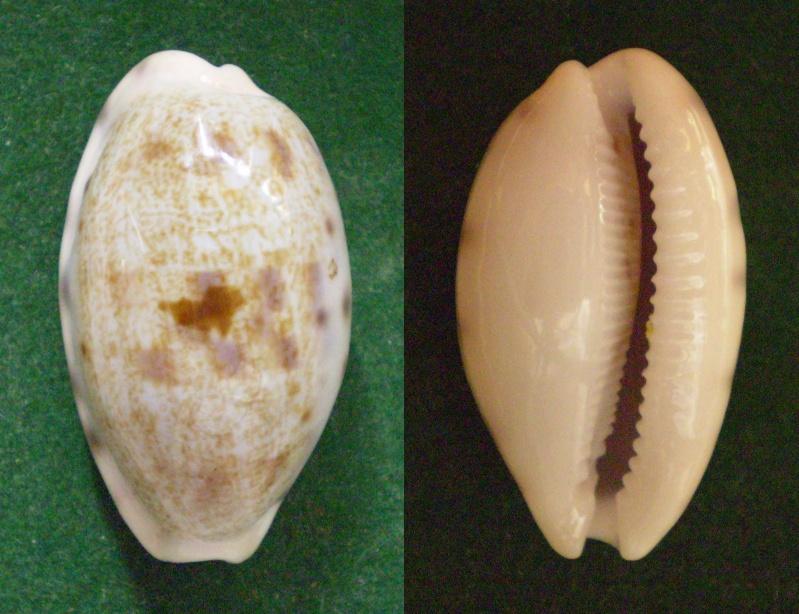 Talostolida alisonae  Burgess, 1983 voir Talostolida pellucens pellucens - (Melvill, 1888) Panor501