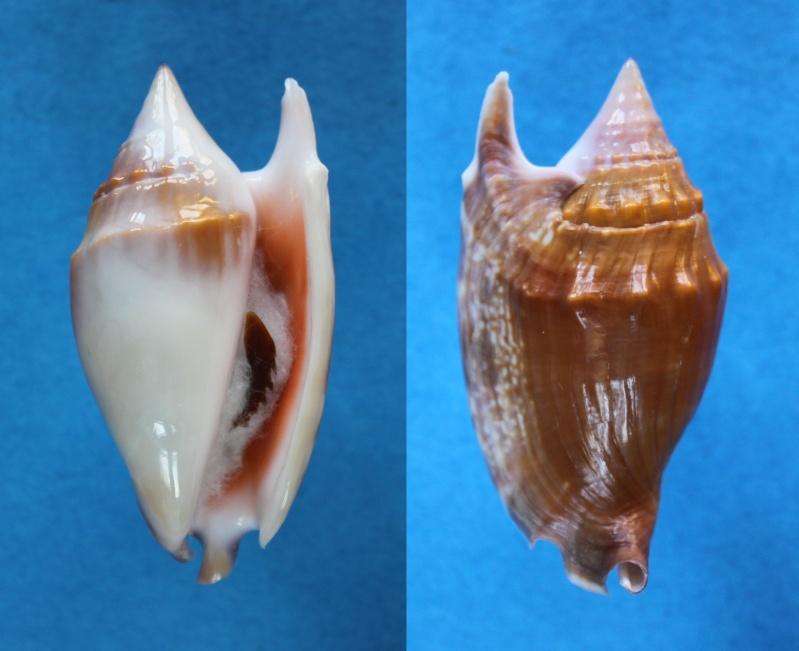 Euprotomus bulla - (Röding, 1798) Panor504
