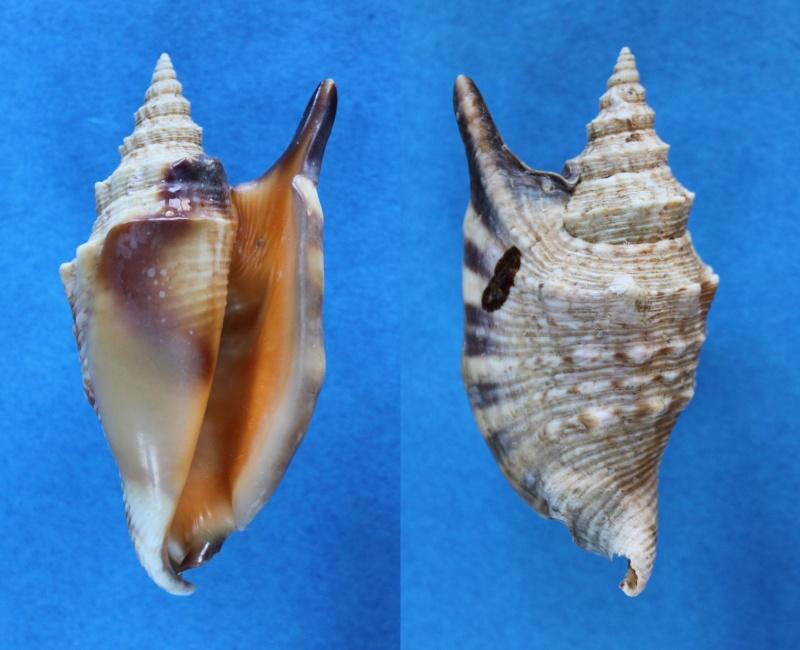 Euprotomus aratrum - (Röding, 1798) Panor505