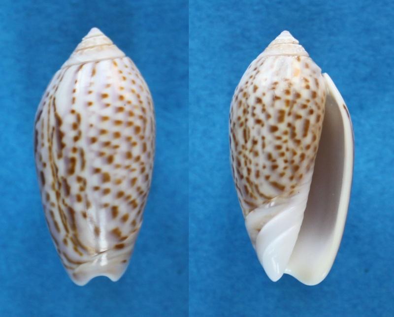 Americoliva peruviana (Lamarck, 1811) Panor514