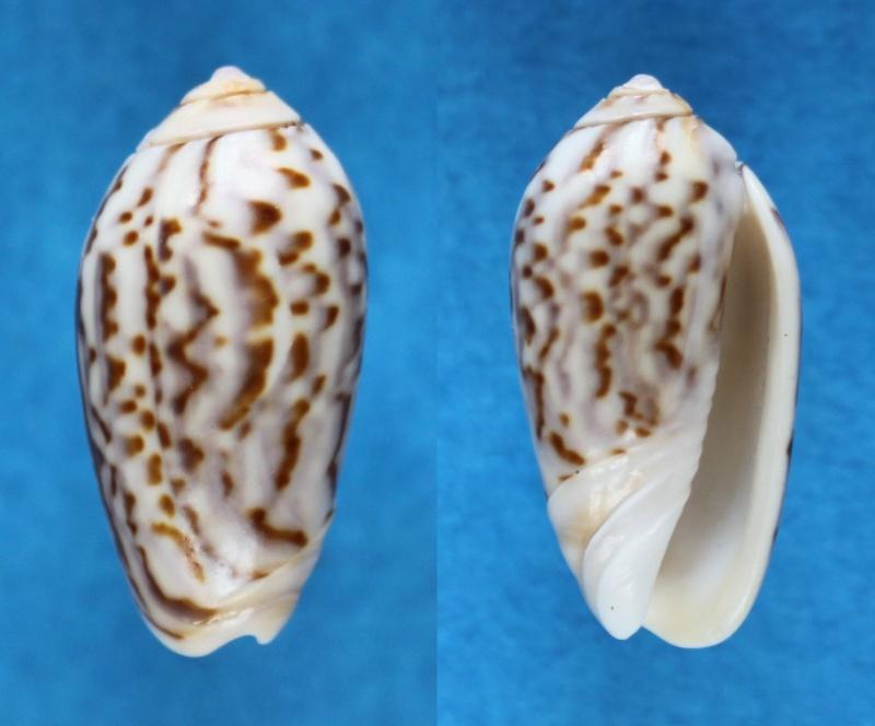 Americoliva peruviana f. fulgurata ((Von Martens, 1869) accepted as Americoliva peruviana (Lamarck, 1811)  Panor515