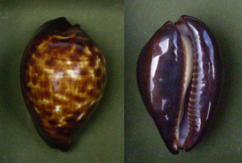 Zoila decipiens decipiens - (E. A. Smith, 1880) Panor520