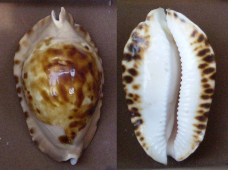 Zoila marginata - (Gaskoin, 1849) Panor521