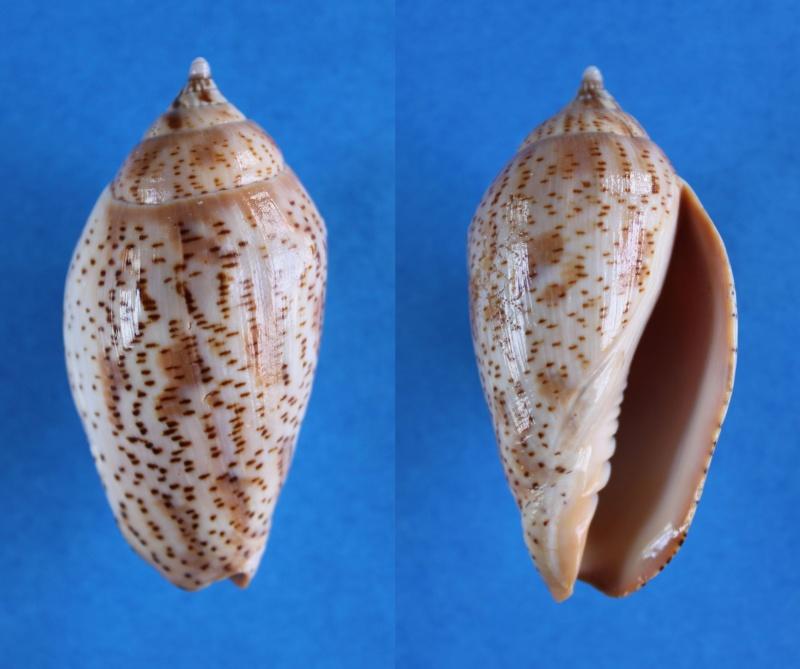 Harpulina lapponica - (Linnaeus, 1767) Panor523