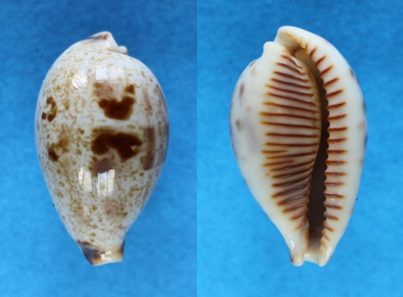 Ficadusta pulchella pericalles - (Melvill & Standen, 1904) Panor531