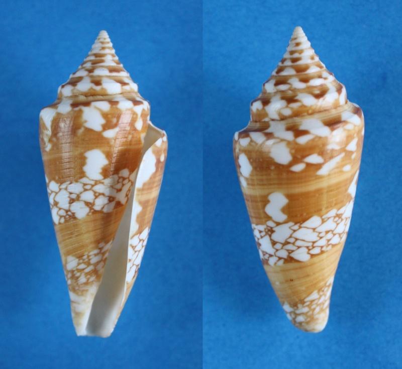 Conus (Leptoconus) castaneofasciatus arbornatalis  da Motta, 1978 Panor538