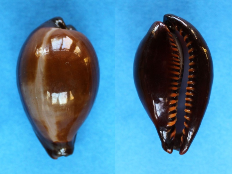 Erronea adusta adusta - (Lamarck, 1810) Panor557