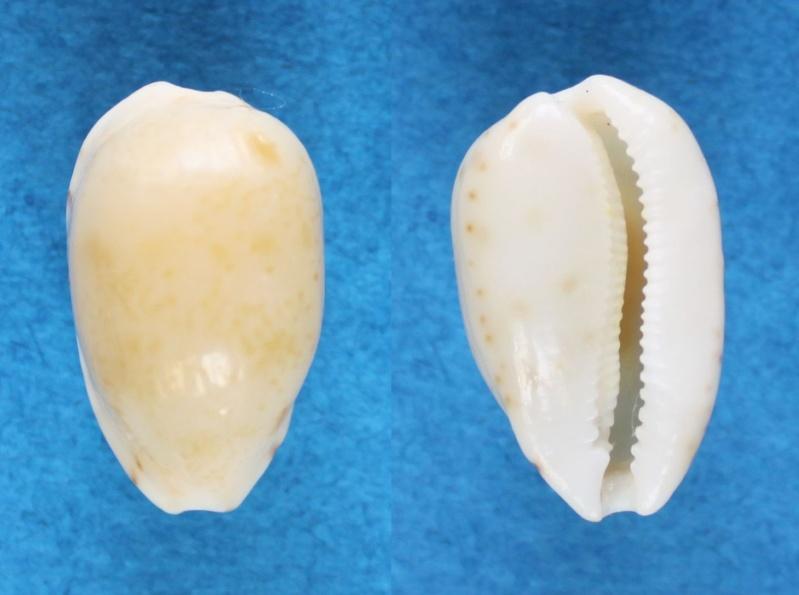 Notocypraea occidentalis - Iredale, 1935 Panor572