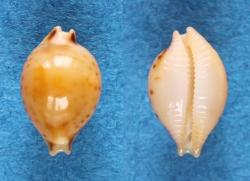 Pustularia mauiensis wattsi - Lorenz, 2000 Panor574