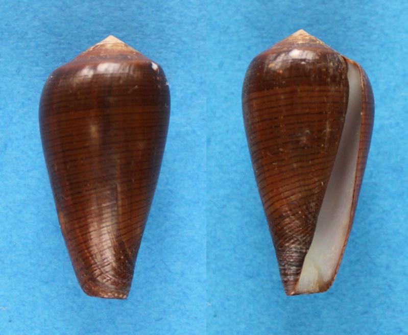 Conus (Darioconus) vezoi  (Korn, W., H.-J. Niederhöfer & M. Blöcher, 2000) Panor581
