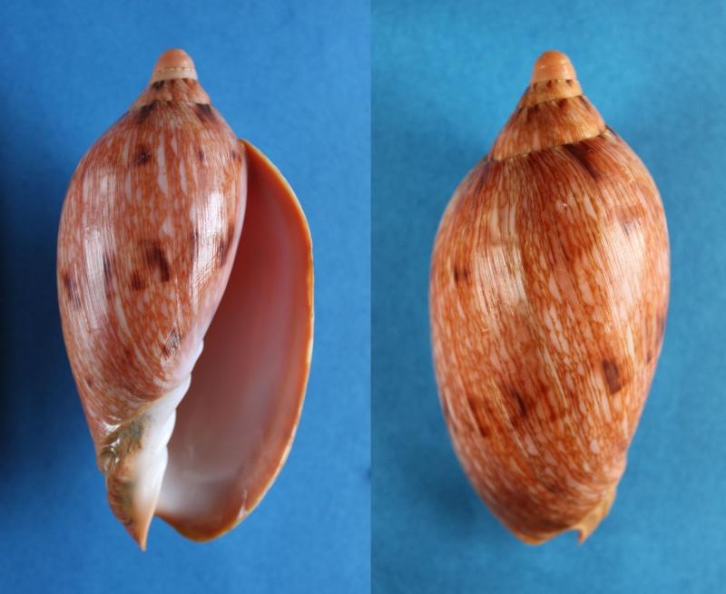 Cymbiola innexa - (Reeve, 1849)  Panor584