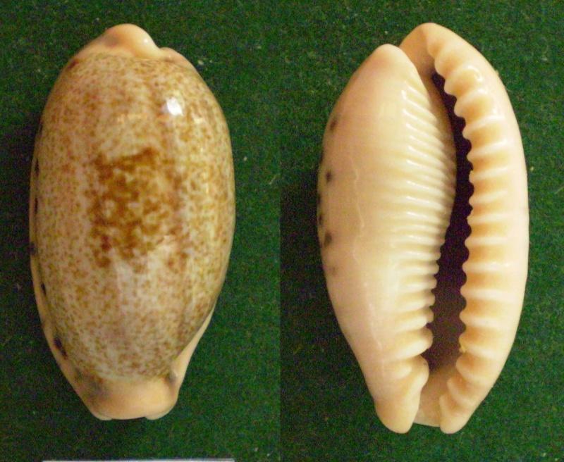 Erronea caurica elongata - (Perry, 1811) Panor590