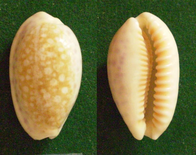 Ovatipsa chinensis - (Gmelin, 1791)  Panor597