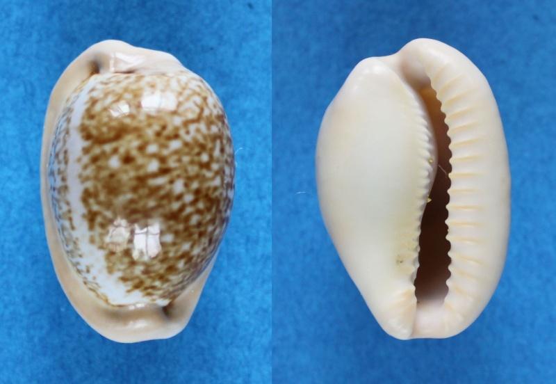 Cypraeovula fuscorubra fuscorubra - (Shaw, 1909) Panor613