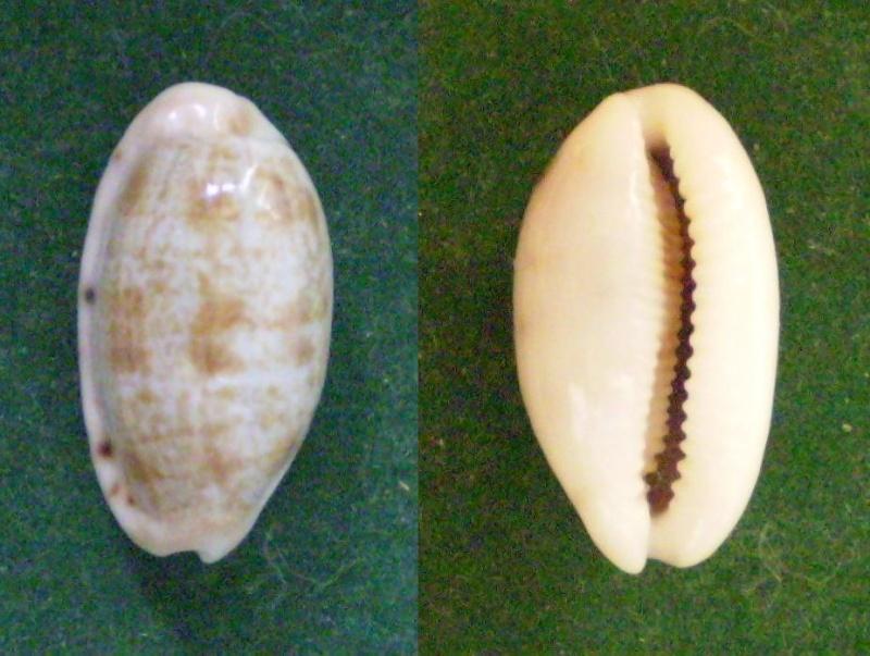 Talostolida teres janae - (Lorenz, 2002) Panor630