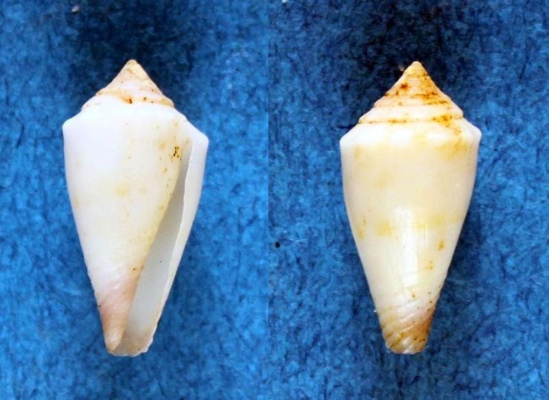 Conus (Lividoconus) floridulus  Adams & Reeve, 1848 Panor651
