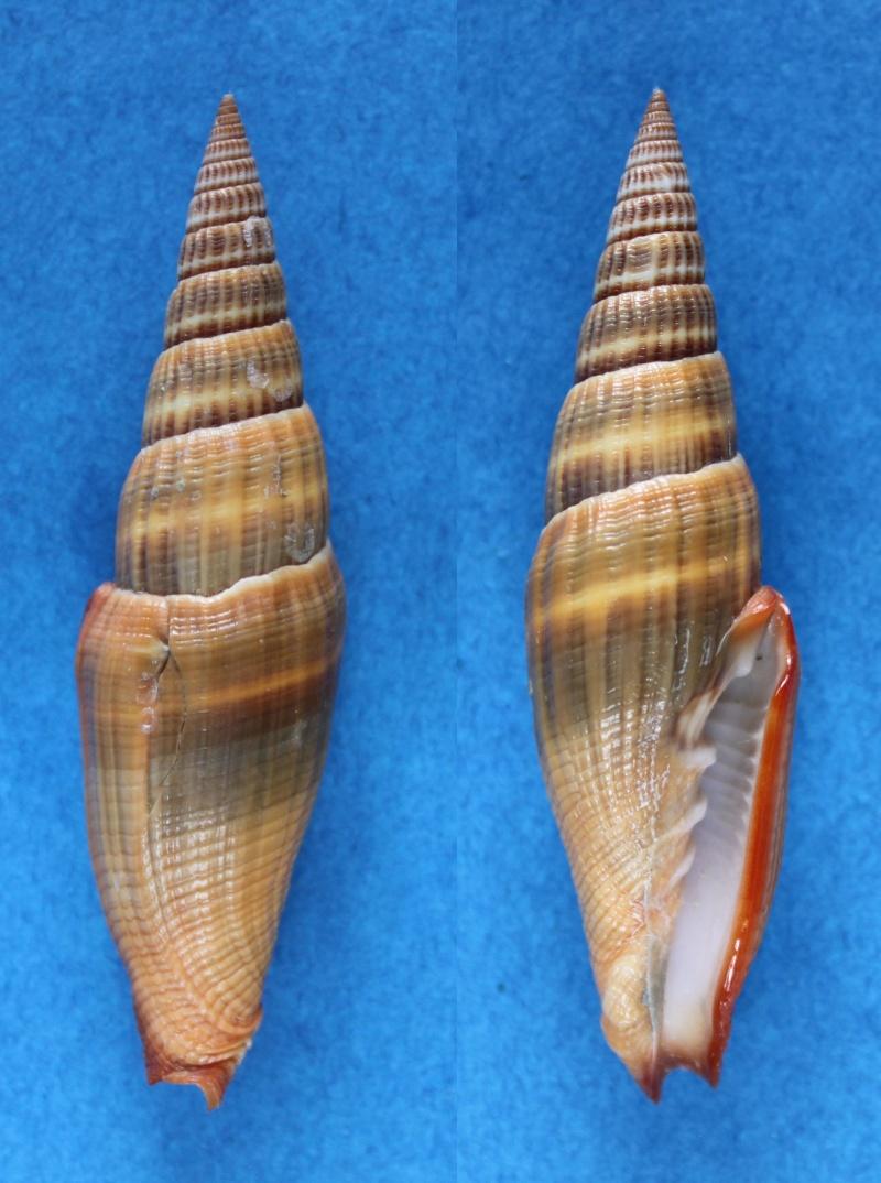 Vexillum coccineum - (Reeve, 1844) Panor669