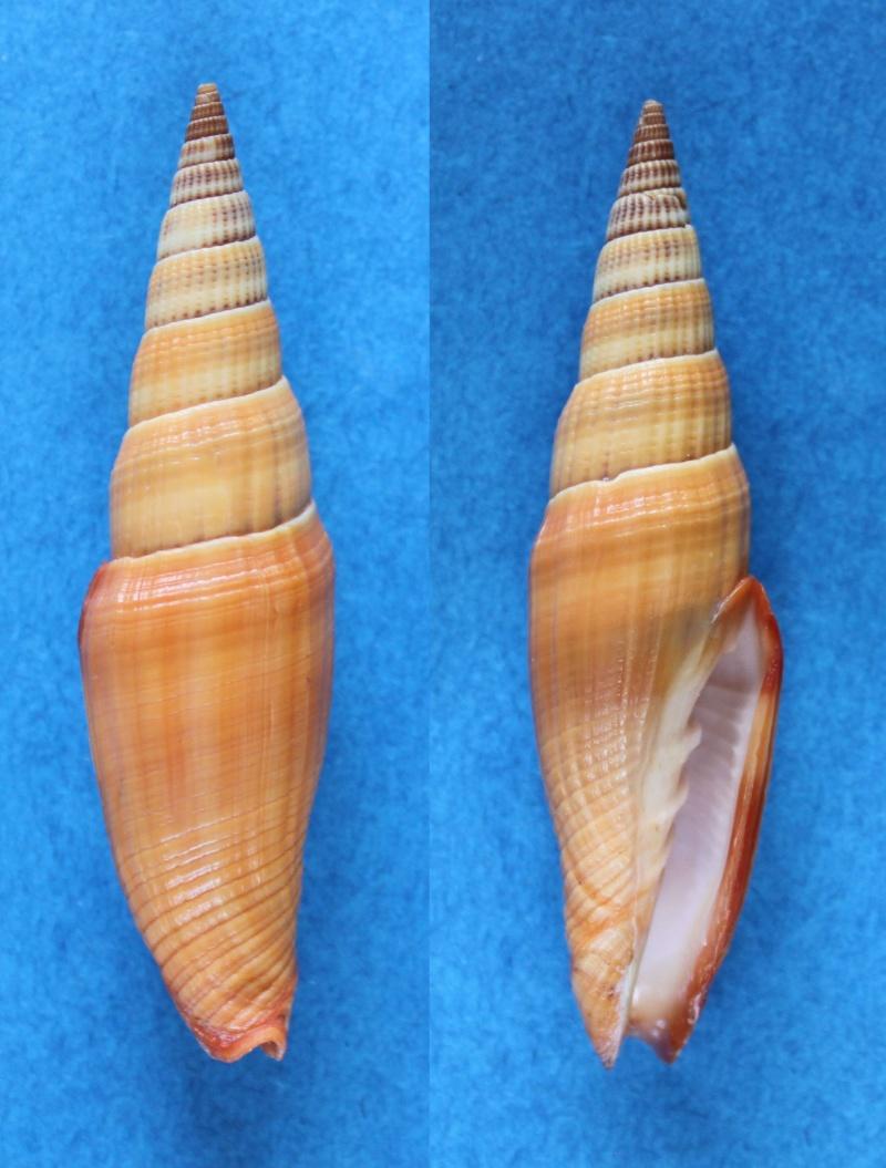 Vexillum coccineum - (Reeve, 1844) Panor670